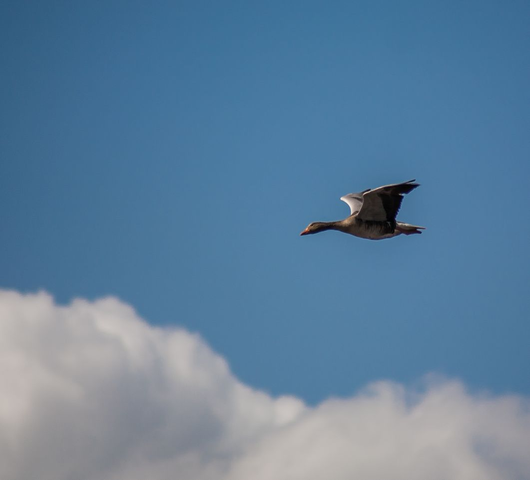 Tomwinters fotografie Vliegende gans