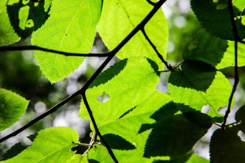 See trough leafs